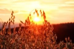 Sonne hinterm Haferfeld in Hosien
