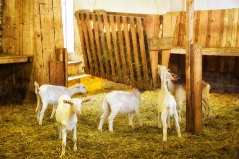 Ziegennachwuchs im Stall